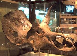 Nedoceratops - Skull exhibited at the Smithsonian