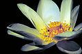 Nelumbo lutea - American Lotus.jpg