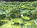 Nelumbo nucifera in north moat of Fukuoka Castle 18.jpg