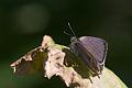 Neozephyrus quercus-05 (xndr).jpg