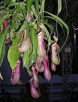 Nepenthes600.jpg