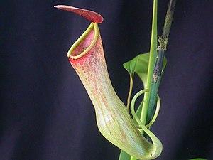 Meghalaya - Nepenthes khasiana