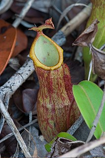 <i>Nepenthes philippinensis</i> Species of pitcher plant from the Philippines