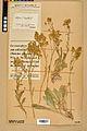Neuchâtel Herbarium - Aurinia saxatilis - NEU000022632.jpg