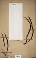 Neuchatel Herbarium Types NEU000113030.tif