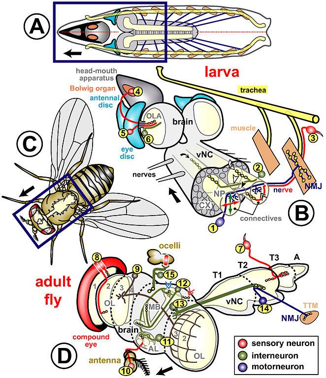 Ring Gland Drosophila