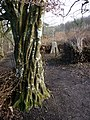 Newly coppiced area at the Weald and Downland Museum - geograph.org.uk - 1158000.jpg