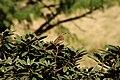 Nilgiri Pipit (Anthus nilghiriensis) on Rhododendron arboreum IMG 2168.jpg