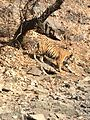 Noor- the tigress.jpg