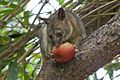 Northen brushtail possum eating an apple.jpg