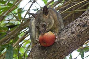 Northern brushtail possum - A male northern brushtail possum eating an apple