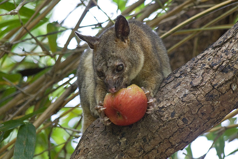 File:Northen brushtail possum eating an apple.jpg
