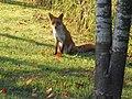 Northern Fox in Park Yurigahara/百合が原公園・キタキツネ - panoramio.jpg