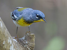 Northern Parula in High Island by Dan Pancamo 1.jpg