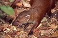 Northern Ring-tailed Mongoose (Galidia elegans dambrensis) (30175789467).jpg