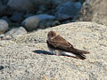 Northern Rough-winged Swallow, Vancouver.jpg