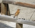 Northern Wheatear, Oenanthe oenanthe, female (28185160409).jpg