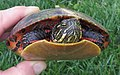 Northern red-bellied turtle facing front on June 11.jpeg
