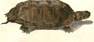 Malayan flat-shelled turtle species of reptile