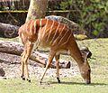 Nyala Tierpark Hellabrunn-2.jpg