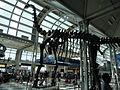 ORD Brachiosaurus altithorax P1000287.jpg