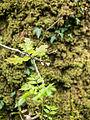 Oak leaf (7819758250).jpg