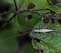 Oecanthus pellucens pellucens (Grillon d'Italie) femelle.jpg
