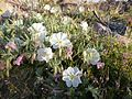 Oenothera californica-Evening Primrose in the wash near the campground.jpg