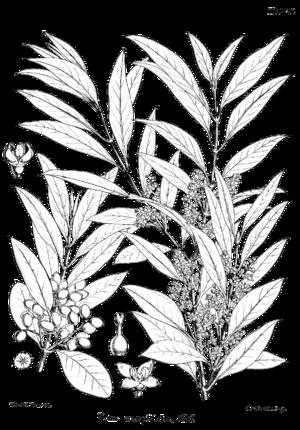 Olea europaea subsp. cuspidata - Image: Olea europaea ssp cuspidata Bra 38