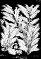 Olea europaea ssp cuspidata Bra38.png