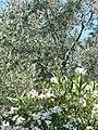 Olive tree - panoramio (1).jpg