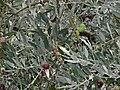 Olives tanche.JPG