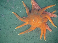 Two Valvatida : a Solaster dawsoni attacking a Hippasteria spinosa