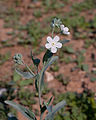 Omphalodes linifolia - Fleurs.jpg