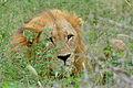 One-eyed Lion (Panthera leo) (16608419371).jpg