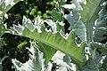 Onopordum acanthium 7zz.jpg