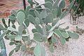Opuntia Leucotricha & Mexico (1) (11983442806).jpg