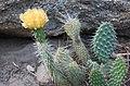 Opuntia polyacantha var. erinacea Mojave pricklypear yellow RockCr.jpg