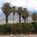 Oranges and Palms, Redlands, CA 1-2008 (5895194020).jpg