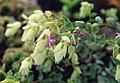 Origanum libanoticum.jpg
