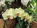 Orquideas amarillas - panoramio.jpg