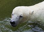 Oso polar (Ursus maritimus), Tierpark Hellabrunn, Múnich, Alemania, 2012-06-17, DD 01.JPG