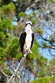 Osprey photo.jpg