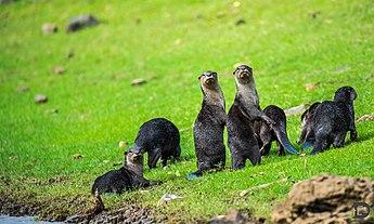 Otters at the bank of river Kabini