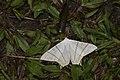 Ourapteryx yerburii virescens (35545238811).jpg