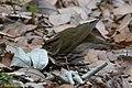 Ovenbird Sabine Woods TX 2018-04-21 07-45-51 (41927261132).jpg