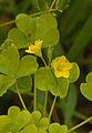 Oxalis stricta flowers, Stijve klaverzuring bloemen.jpg