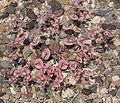 Oxytheca perfoliata 8.jpg