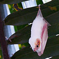 P1070111-Northern-Ghost-Bat-(diclidurus-albus).jpg