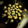 P20101102-0013--Foeniculum vulgare--Berkeley (16204302328).jpg